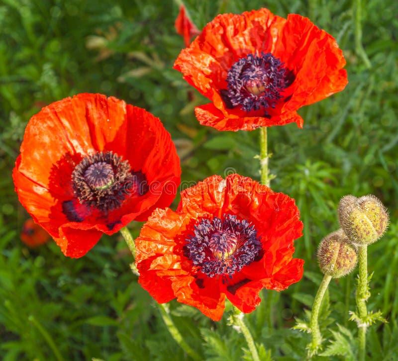 Pojedynczy Papaver orientale jest odwiecznie floweri (Orientalny maczek) obraz royalty free