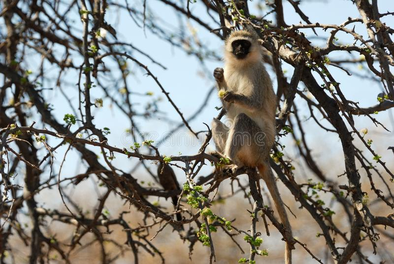 Pojedynczy pawian na gałąź, Tarangire park narodowy, Tanzania zdjęcie royalty free