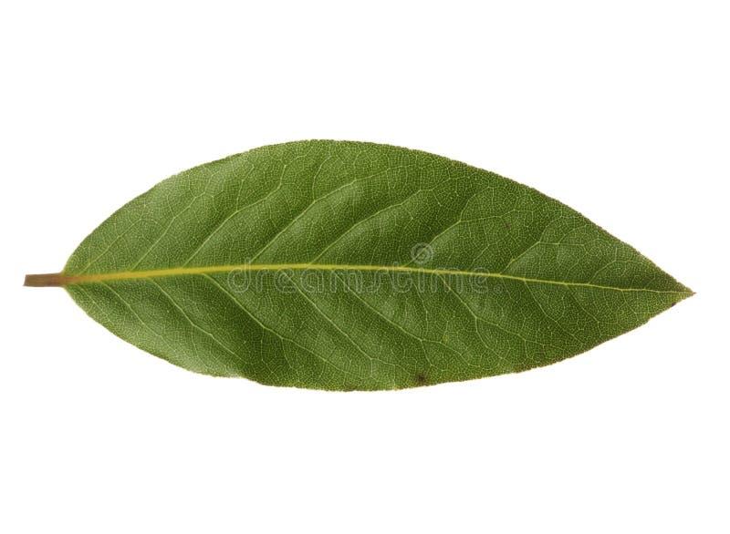 Pojedynczy podpalany liść odizolowywający na białym tle zdjęcie stock