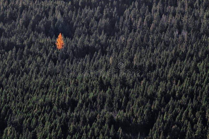 Pojedynczy pomarańczowy drzewo w zielonym lesie fotografia royalty free