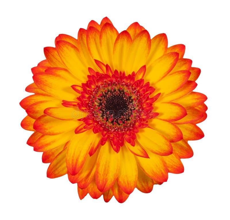 Pojedynczy pomarańczowy gerbera kwiat odizolowywający na białym tle obraz stock