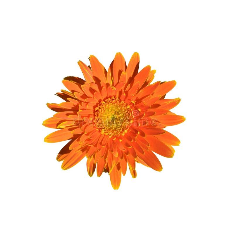 Pojedynczy pomarańczowy gerbera kwiat odizolowywający na białym tle fotografia royalty free