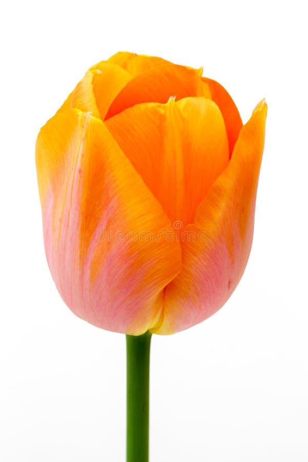 Pojedynczy Pomarańczowy tulipan zdjęcie stock