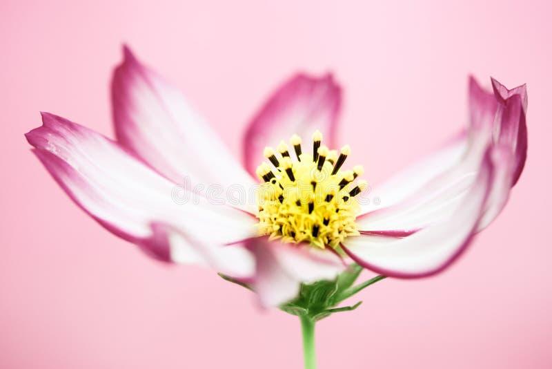 """Pojedynczy purpur menchii dzikiego kwiatu """"Wild kosmosu Flower† kwitnienie podczas wiosny i lata zbliżenia makro- różowy tło zdjęcia royalty free"""
