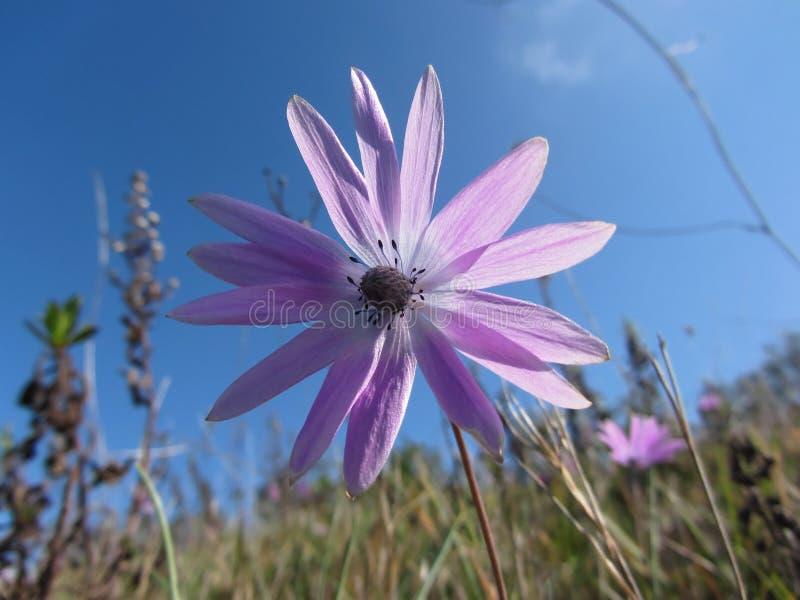 Pojedynczy purpurowy stokrotka kwiat przeciw niebieskiemu niebu włochy Toskanii zdjęcia royalty free