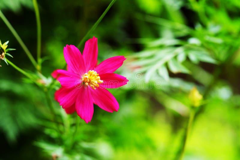 Pojedynczy różowi kosmosy kwitną w dnia świetle z zieleń ogródu tłem fotografia royalty free
