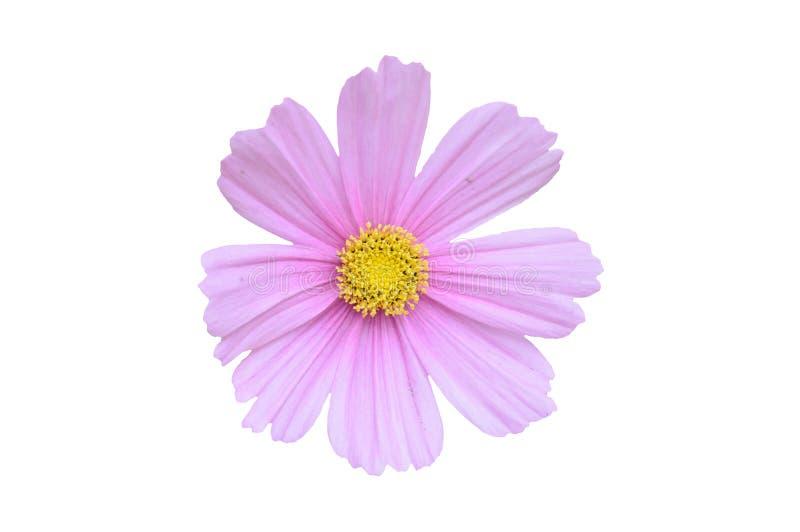 Pojedynczy różowy kosmosu bipinnatus kwiat odizolowywający na białym backgro obraz royalty free