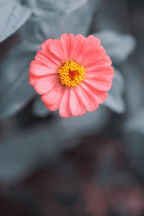 Pojedynczy różowy kwiat cynnii szary tło zdjęcie stock