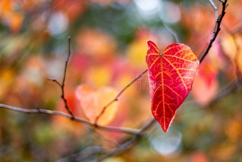 Pojedynczy rewolucjonistki i koloru żółtego jesieni spadek Opuszcza z selekcyjnym focu obraz stock
