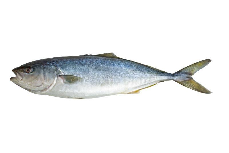 pojedynczy ryba tuńczyk zdjęcie royalty free