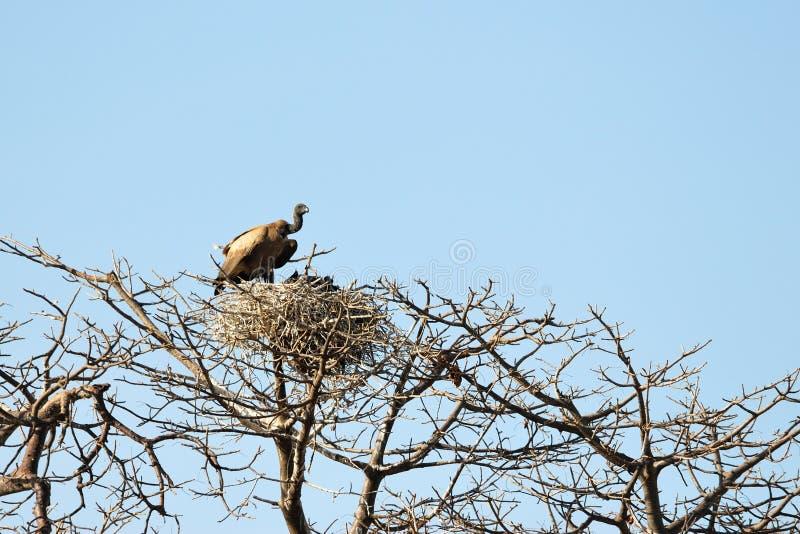Pojedynczy sęp, Tarangire park narodowy, Tanzania zdjęcia royalty free