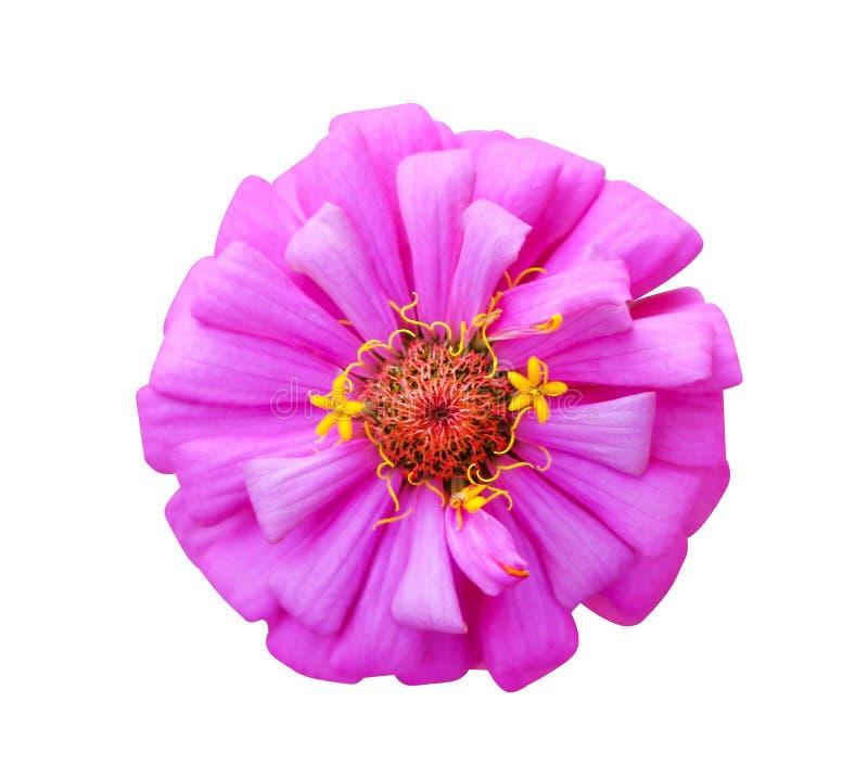 Pojedynczy słodki kolorowy różowy płatek cyni violacea kwitnie lub asteraceae z jaskrawym czerwieni i koloru żółtego pollen odgór obraz stock