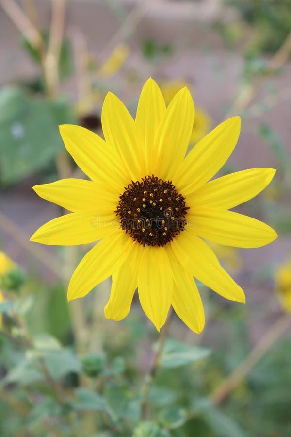 Download Pojedynczy słonecznik zdjęcie stock. Obraz złożonej z ptaki - 28964420