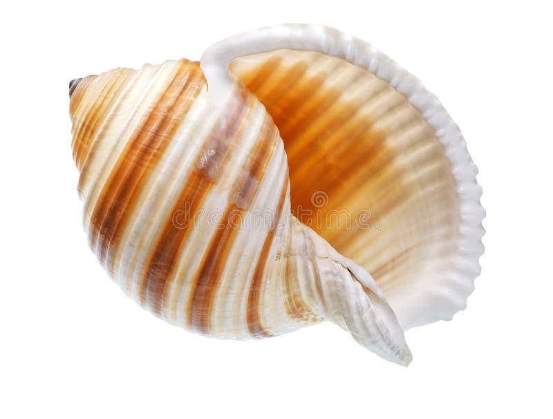 pojedynczy seashell tła white zdjęcia stock