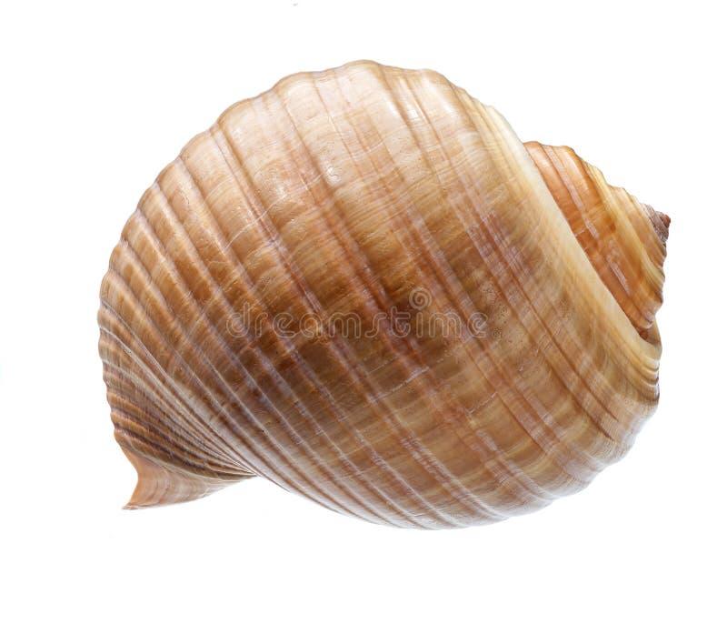pojedynczy seashell tła white zdjęcie stock