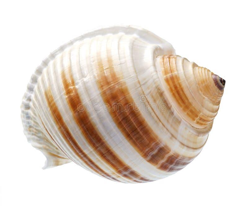 pojedynczy seashell tła white obraz stock