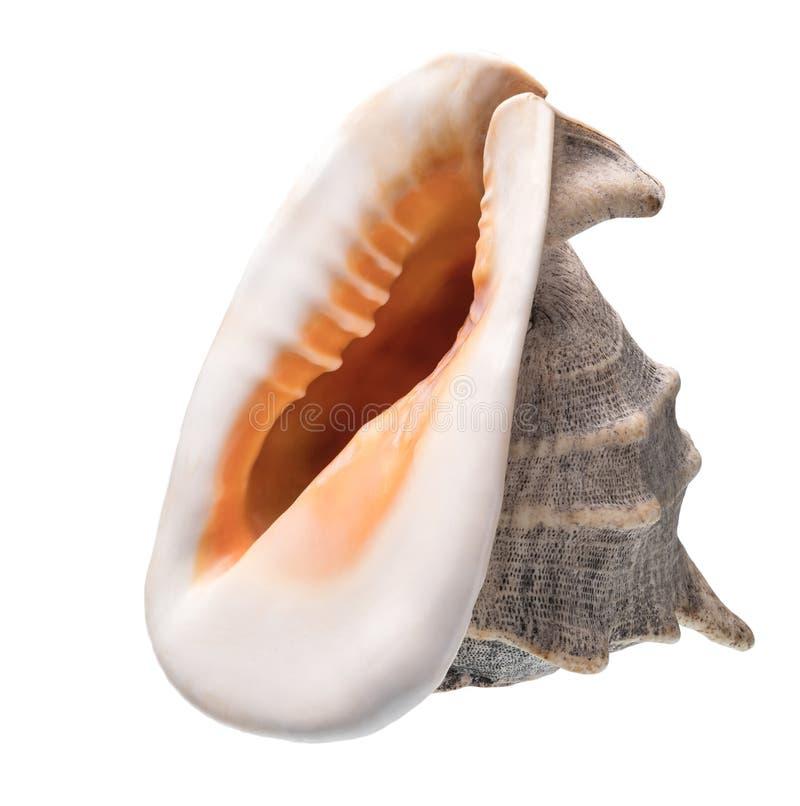 pojedynczy seashell tła white obrazy royalty free