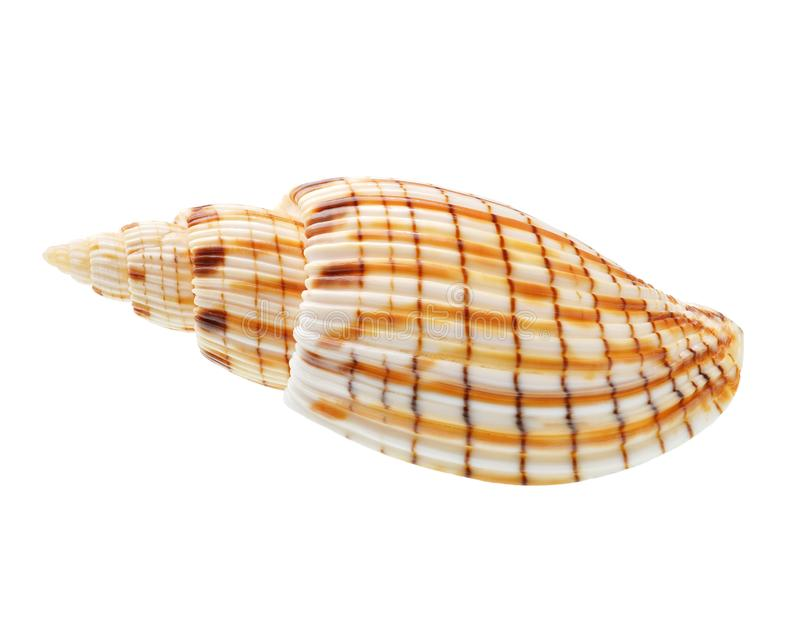 pojedynczy seashell tła white obrazy stock