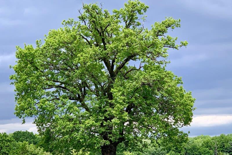 Pojedynczy stary majestatyczny Dębowy drzewo z świeżymi zielonymi liśćmi, zdjęcia stock