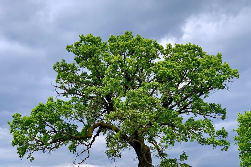 Pojedynczy stary majestatyczny Dębowy drzewo z świeżymi zielonymi liśćmi, obraz stock