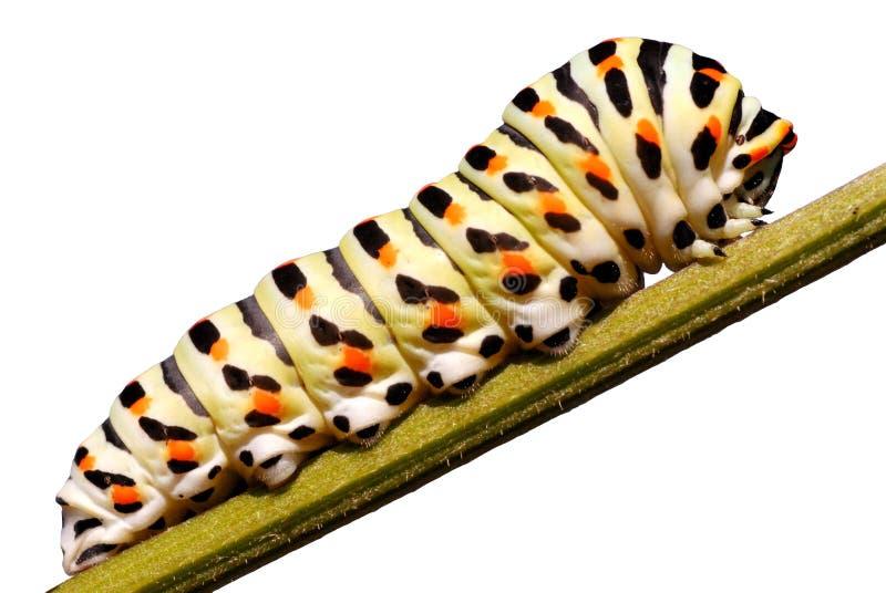 pojedynczy swallowtail gąsienicę ilustracji