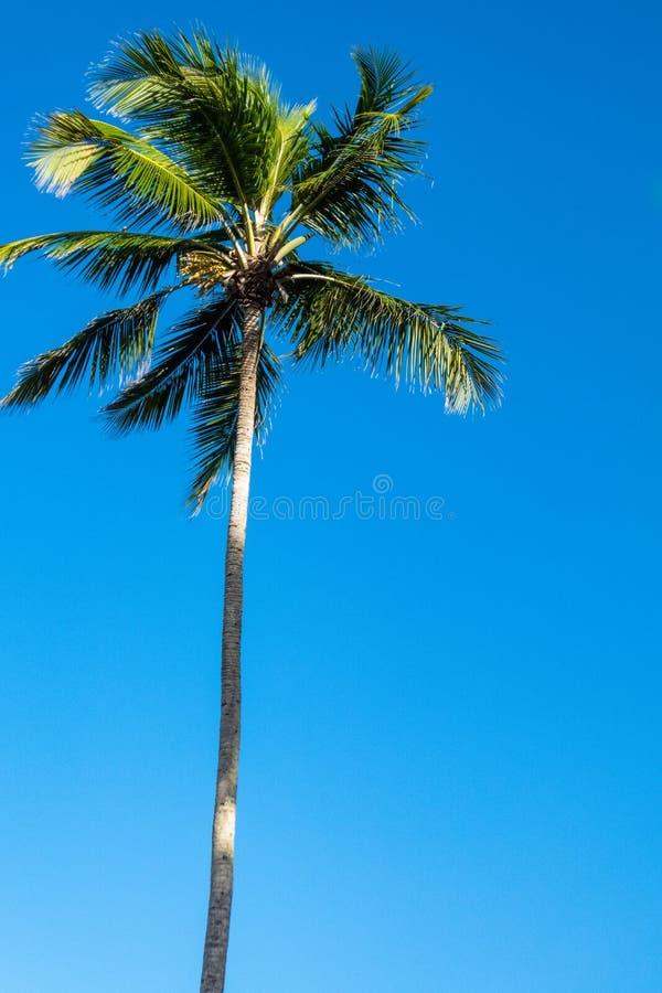 Pojedynczy tropikalny drzewko palmowe przeciw błękitnemu pogodnemu niebu obrazy stock