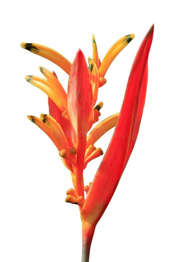 Pojedynczy tropikalny kwiat Heliconia obrazy stock
