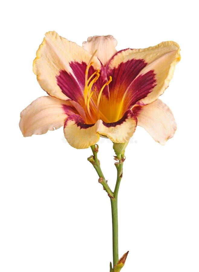 Pojedynczy trzon z daylily kwiatem obrazy royalty free