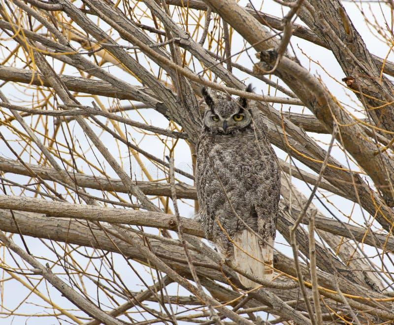 Wielka Rogata sowa Patrzeje Od drzewa zdjęcia stock