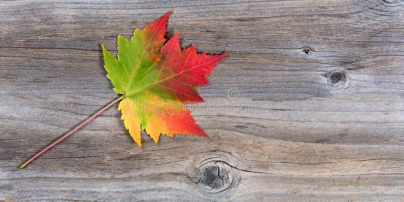 Pojedynczy wibrujący jesień liść klonowy na nieociosanym drewnie zdjęcie stock