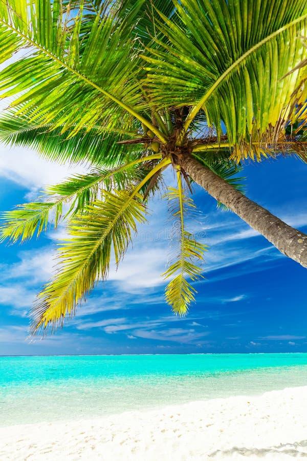 Pojedynczy wibrujący kokosowy drzewko palmowe na tropikalnej plaży fotografia stock