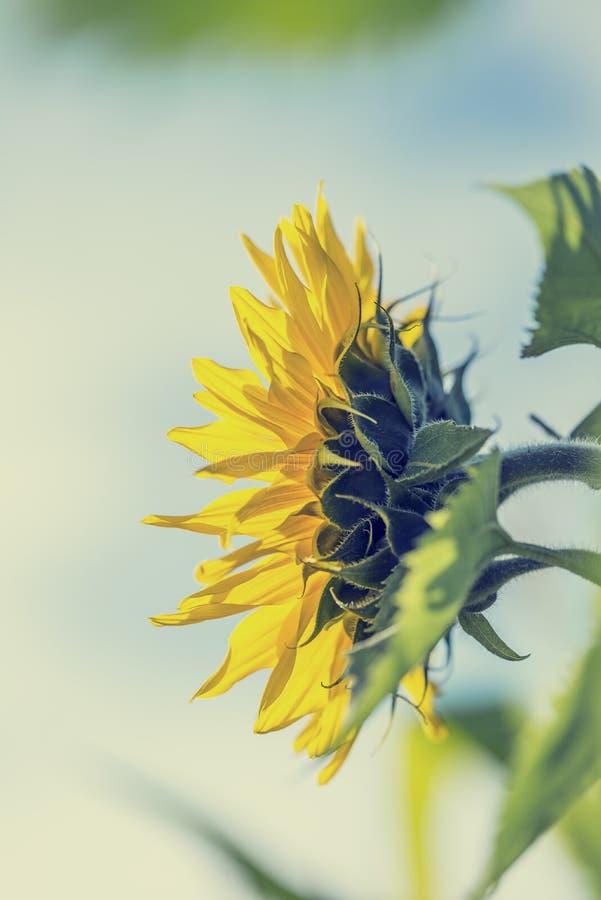 Pojedynczy wielki żółty słonecznik, boczny widok fotografia stock