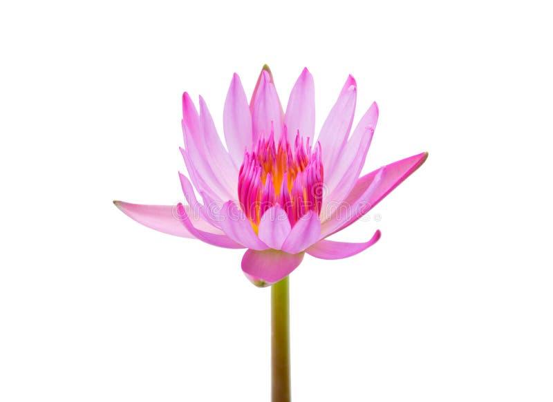 Pojedynczy wody lilly kwiat zdjęcie royalty free