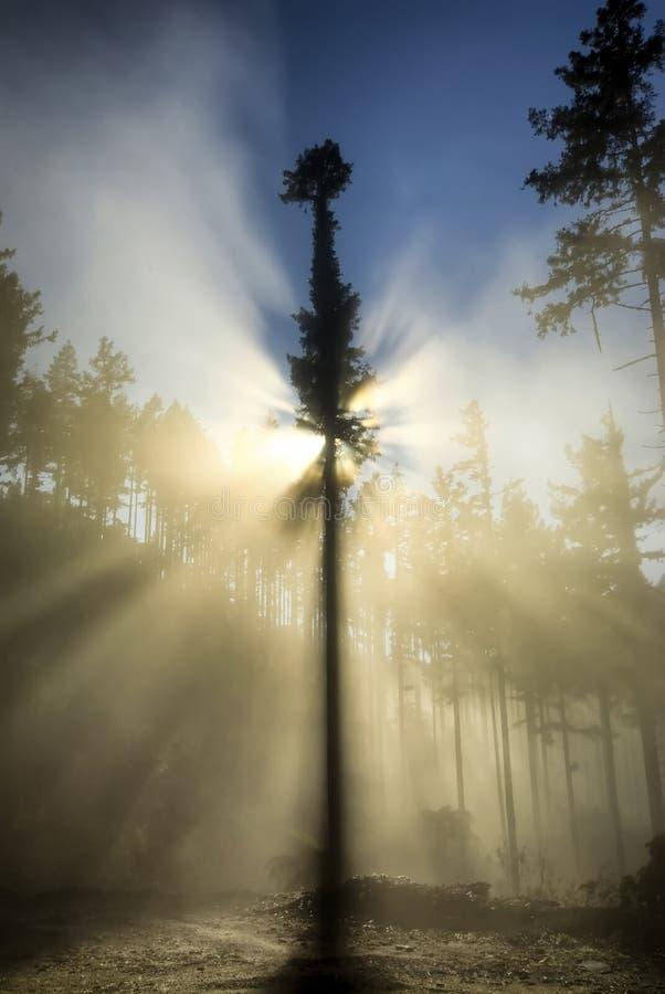 Pojedynczy, z powrotem zaświecający drzewo, i mgła w leśnym terenie, Nowa Zelandia obrazy royalty free
