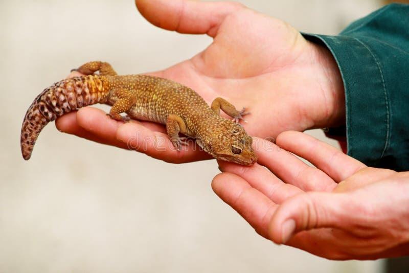 Pojke med geckon Mannen rymmer i handreptilgecko Gemensamma husdjur för leopardreptilgecko Exotiska tropiska kallblodiga djur, zo arkivfoton