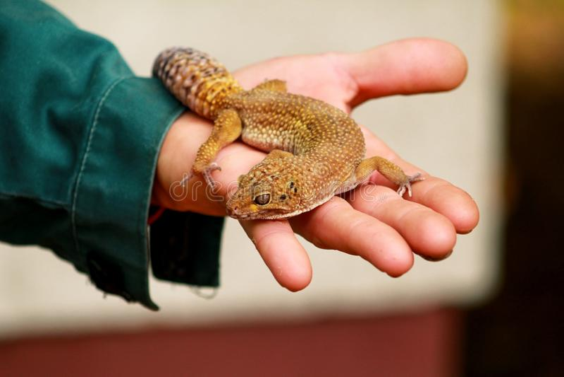 Pojke med geckon Mannen rymmer i handreptilgecko Gemensamma husdjur för leopardreptilgecko Exotiska tropiska kallblodiga djur, zo arkivfoto