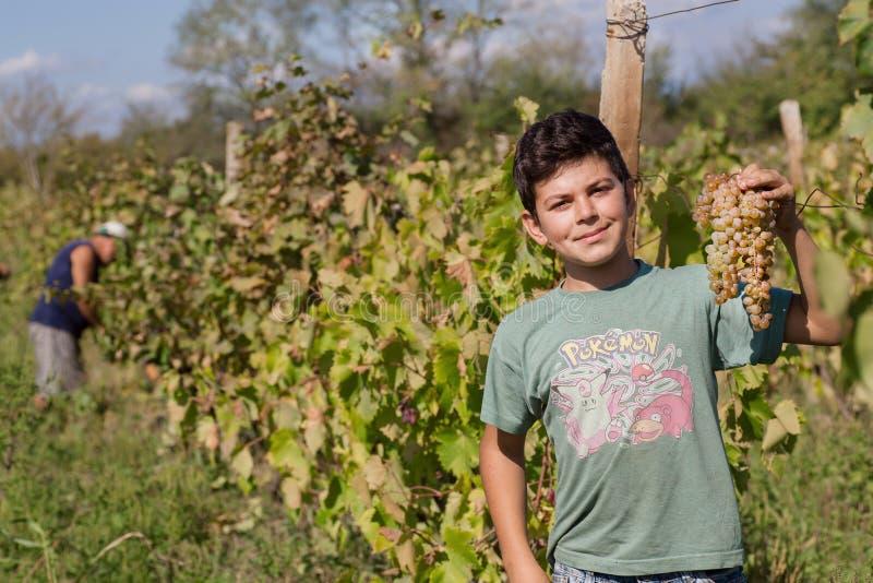 Pojke som tar gruppen av druvan i lantgård med vingården i den gröna dalen arkivfoton