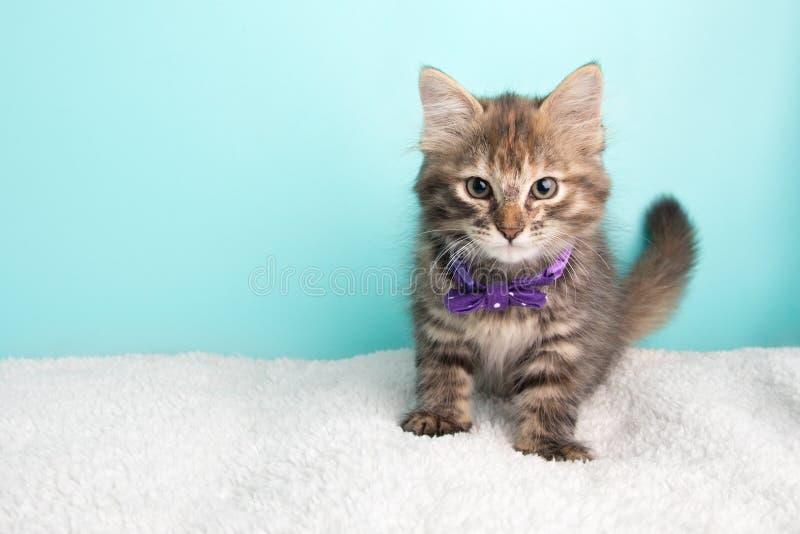 Poka пурпура милого пушистого молодого кота спасения котенка Tabby нося и белых поставило точки бабочка сидя смотрящ камеру стоковые фото