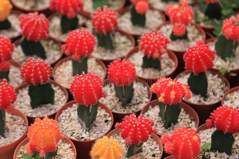 Pokaz kolekcja miniaturowe kaktusowe rośliny z czerwieni głową na małym brązie puszkuje w minimalnym stylowym projekcie w szklarn zdjęcie royalty free