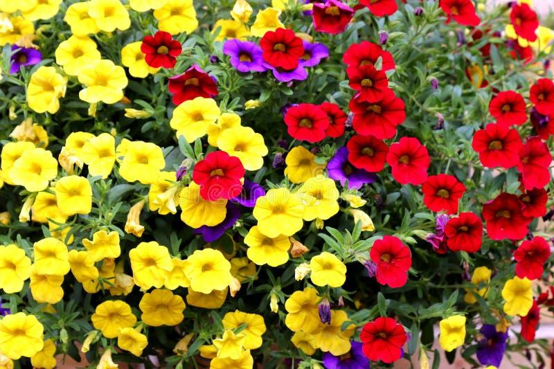 Pokaz miniaturowe petuni rośliny zdjęcia royalty free