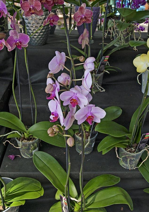 Pokaz piękna orchidea obrazy royalty free