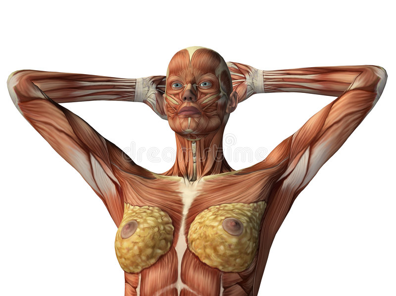 pokazywać półpostać żeńscy mięśnie ilustracji