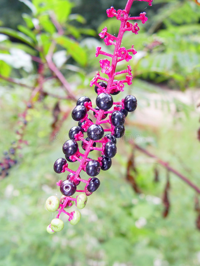 Pokeweed fotografia stock