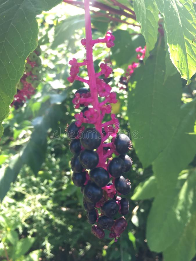 Pokeweed Berries stock photo