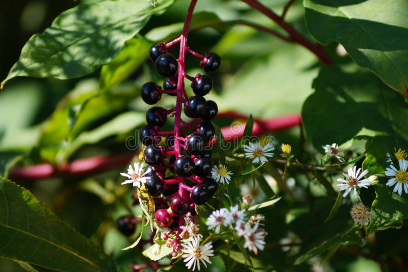Pokeweed et asters images libres de droits