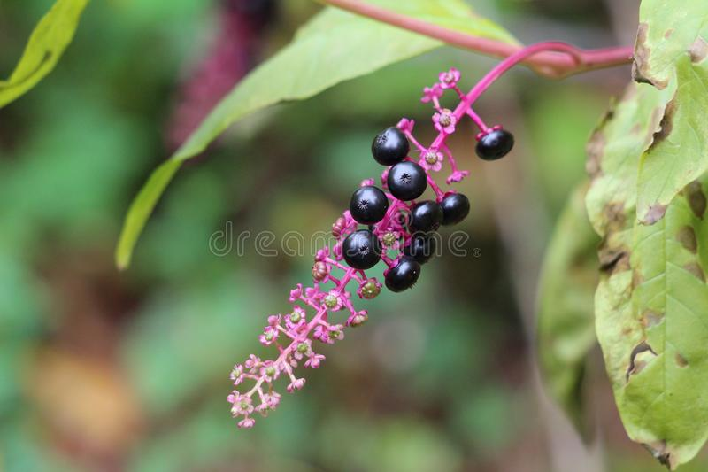 Pokeweed or Phytolacca americana poisonous herbaceous perennial plant with small and fully ripe black berries on purple stem royalty free stock images