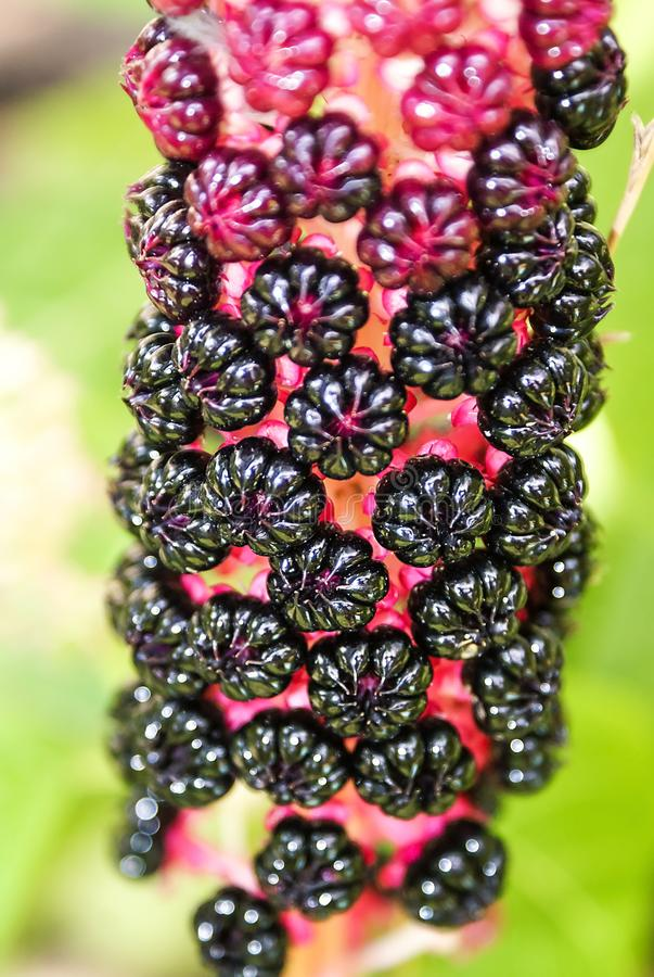 Pokeweed Phytolacca americana. Poisonous plant is used in medicine. Toxic American pokeweed berries, lakonos. Deadly flowers, pl royalty free stock photography
