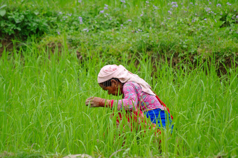 POKHARA, NP - CIRCA im August 2012 - Frau arbeitet in einem Reis plantati lizenzfreie stockfotografie