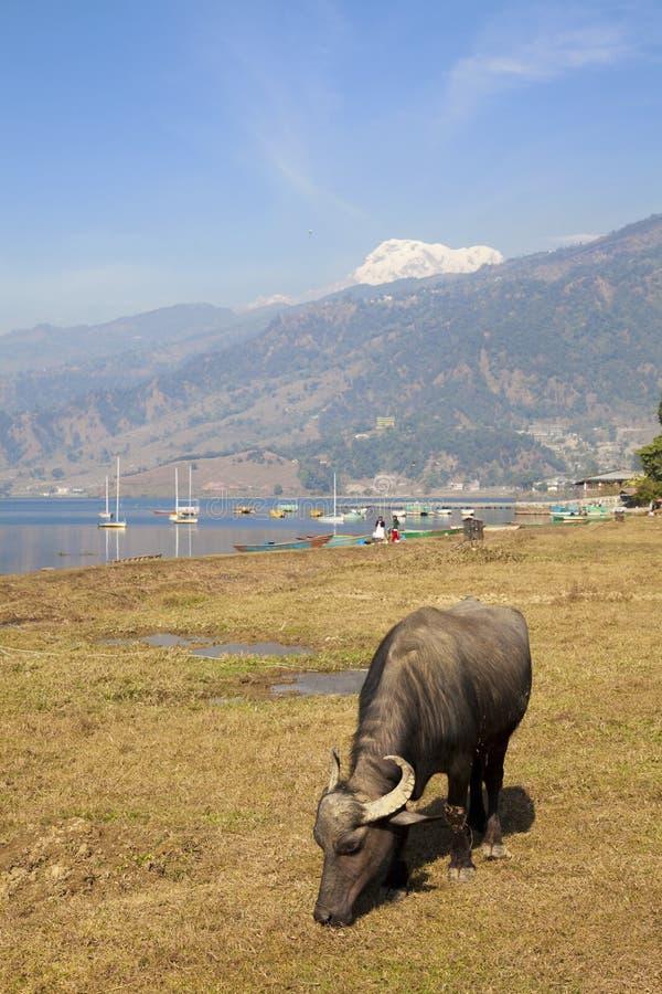 pokhara phewa του Νεπάλ λιμνών βούβαλ στοκ εικόνες
