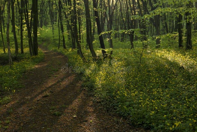 Pokojowa lasowa ścieżka zdjęcie stock